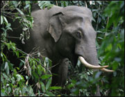 Wild Bhutanese Elephants attack humans and crops