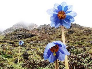 Bhutan National Flowe Blue Poppy